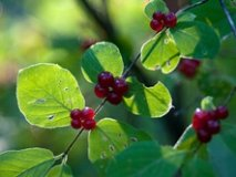 Wolfberry poisoning