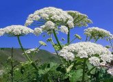 How to treat burns of hogweed