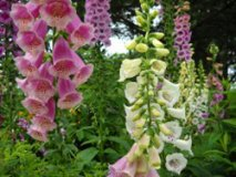Digitalis intoxication with cardiac glycosides