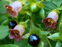 Poisoning of belladonna