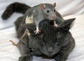 What to do if the cat was poisoned by rat poison