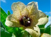 Black Helen - poisonous plant