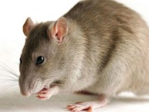 Rat poison is a lethal dose for a person, the symptoms and consequences of poisoning