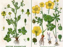 Buttercup poisoning caustic and poisonous